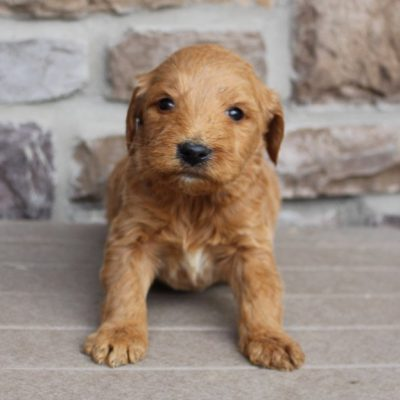 Gabriel - Goldendoodle male puppy for sale in New Haven, Indiana