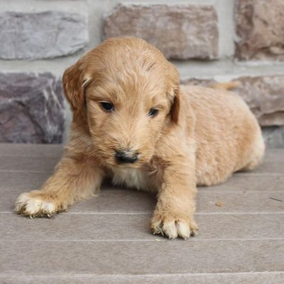 Garrett - male Goldendoodle puppy for sale in New Haven, Indiana