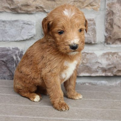 Garvan - Goldendoodle male pupper for sale near New Haven, Indiana