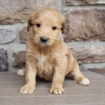 Gerald - puppie Goldendoodle for sale in New Haven, Indiana