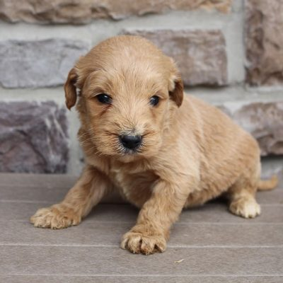 Glossy - Goldendoodle male doggie for sale at New Haven, Indiana