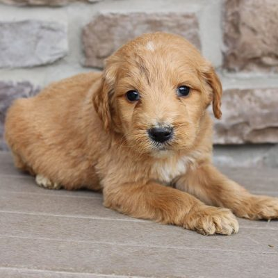 Goldie - Goldendoodle male puppy for sale near New Haven, Indiana