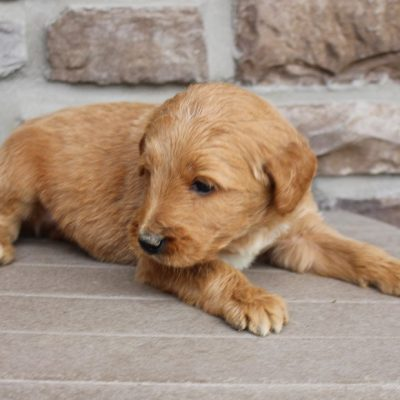 Grizz - Goldendoodle male pup for sale in New Haven, Indiana