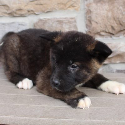 Doll - AKC Akita female puppie for sale near New Haven, Indiana