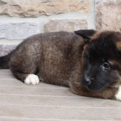 Dotty - AKC Akita female puppie for sale in New Haven, Indiana