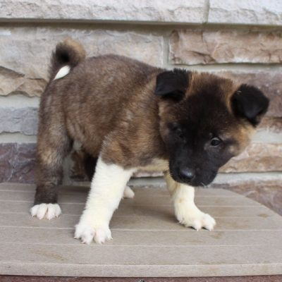 Danny- AKC Akita puppy for sale at New Haven, Indiana