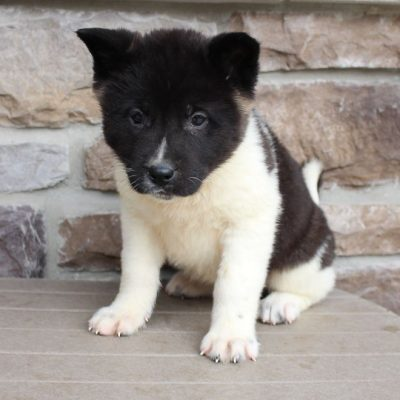 Denice - AKC Akita female doggie for sale at New Haven, Indiana