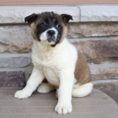 Dan- male AKC Akita doggie for sale in New Haven, Indiana