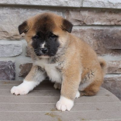 Davy - pup AKC Akita for sale in New Haven, Indiana