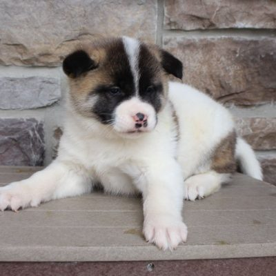 Deloris- AKC Akita female pupper for sale at New Haven, Indiana
