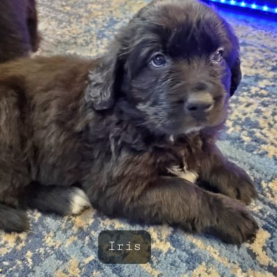 Iris - AKC Newfoundland female puppy for sale at Omaha, Nebraska