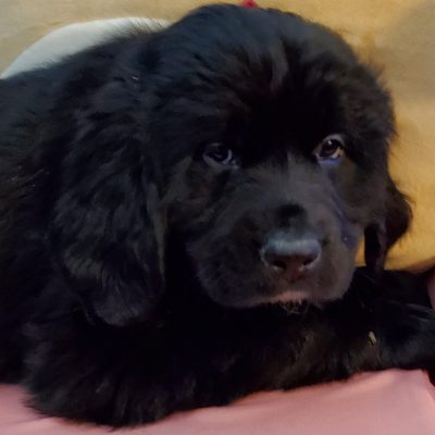 Holly - AKC Newfoundland female for sale in Omaha, Nebraska