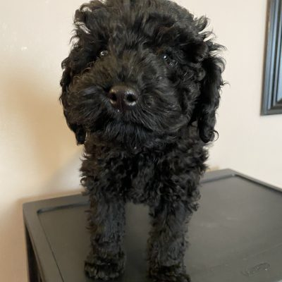 Lorenzo - ICA male Miniature Poodle puppie for sale in Harrisburg, Pennsylvania