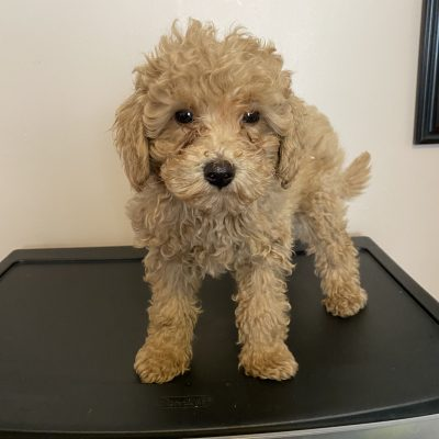 Liam - ICA Miniature Poodle doggie for sale at Harrisburg, Pennsylvania