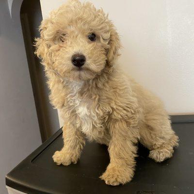 Levi - puppie ICA Miniature Poodle for sale near Harrisburg, Pennsylvania
