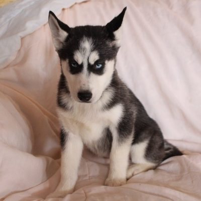 Lassie - AKC Siberian Husky puppy for sale at Spencerville, Indiana