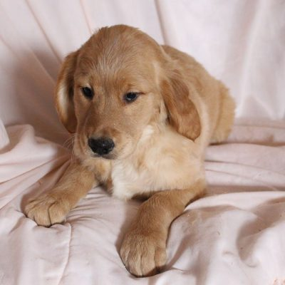 Queenie - AKC female Golden Retriever puppie for sale near Spencerville, Indiana