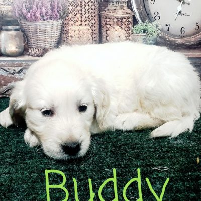 Buddy - puppy male AKC Golden Retriever for sale at South Wittley, Indiana