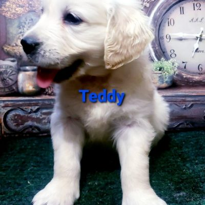 Teddy - male AKC Golden Retriever doggie for sale in South Wittley, Indiana
