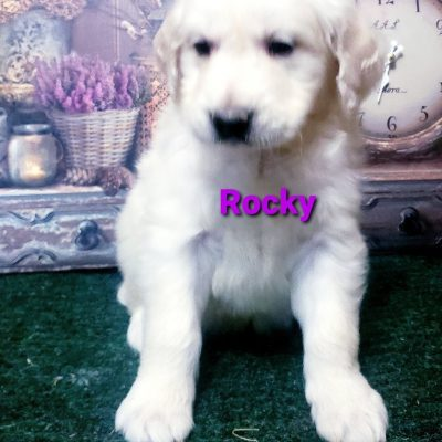 Rocky - AKC Golden Retriever puppie for sale near South Wittley, Indiana