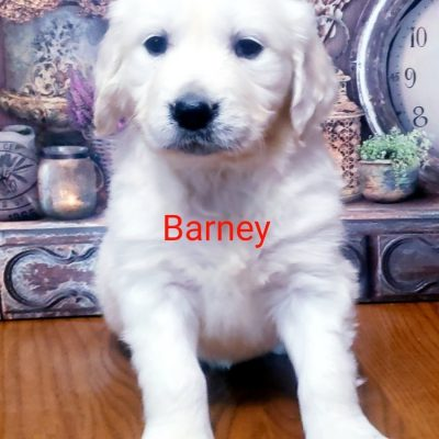 Barney - AKC Golden Retriever pup for sale in South Wittley, Indiana