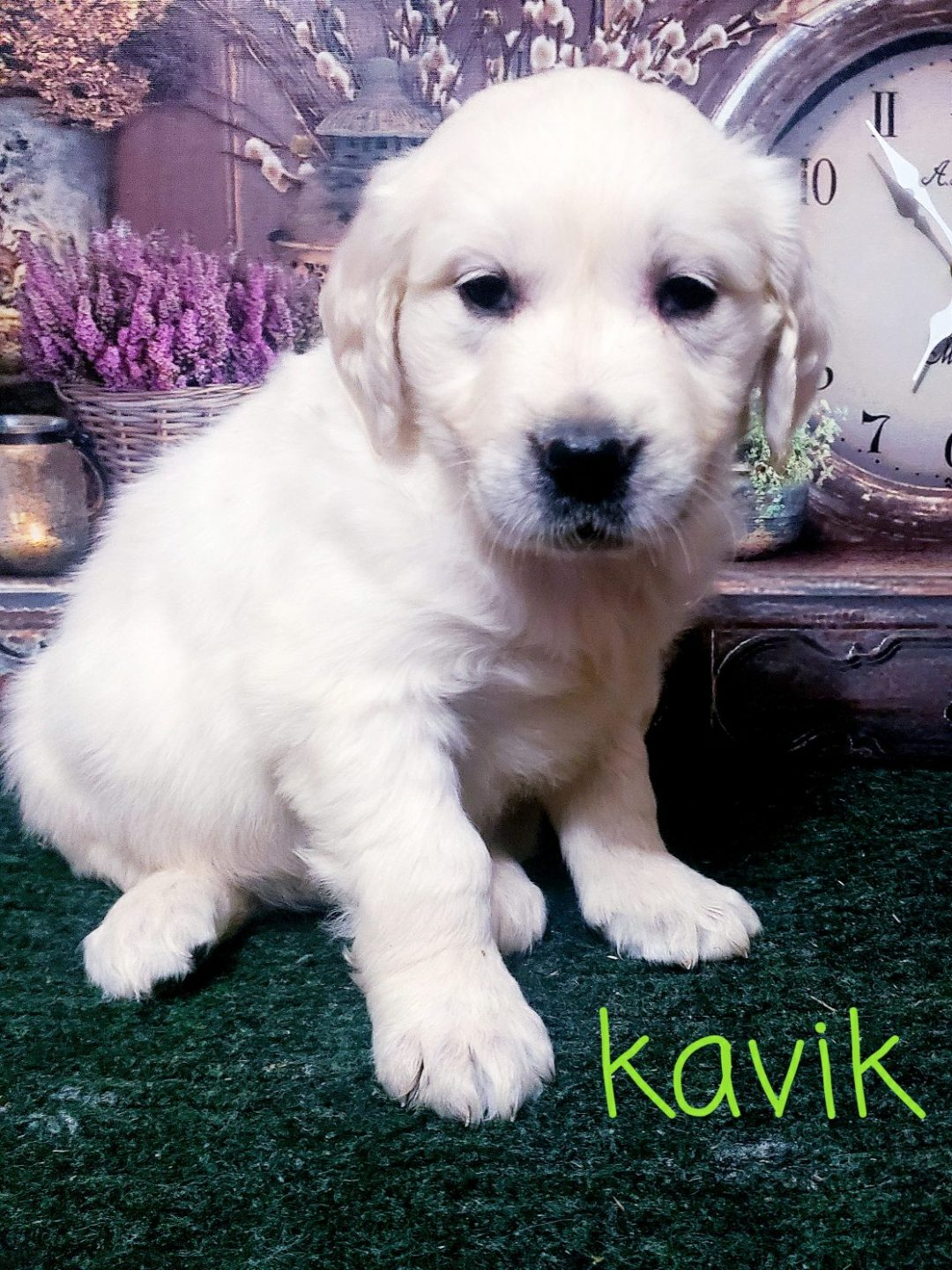 Kavik - AKC Golden Retriever male pupper for sale near South Wittley, Indiana