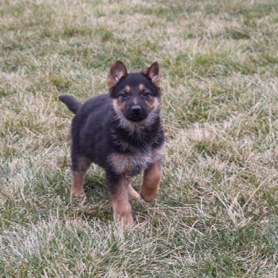 Ashley - AKC German Shepherd puppy for sale near New Haven, Indiana