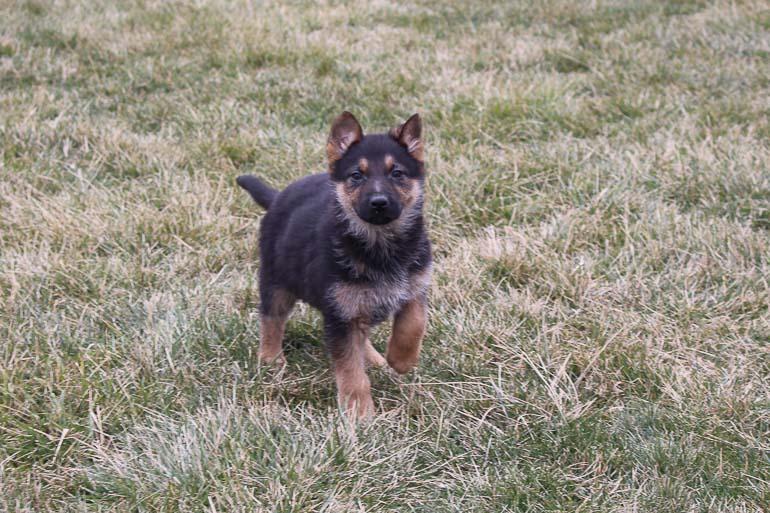 Ashley - AKC German Shepherd puppy for sale near New Haven, Indiana