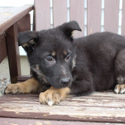 Jed- AKC German Shepherd male doggie for sale in New Haven, Indiana