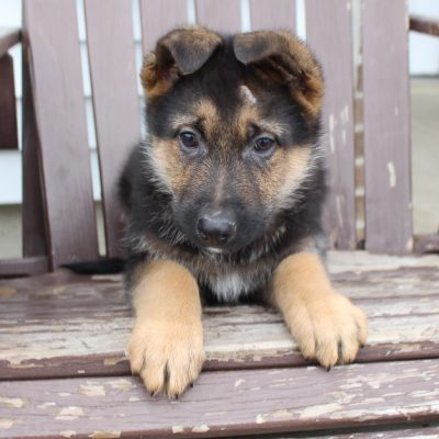 Alex - AKC German Shepherd pupper for sale at New Haven, Indiana