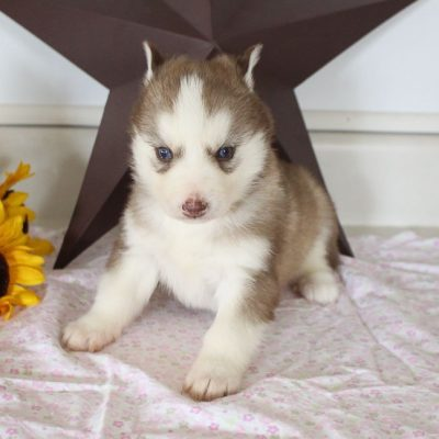 Chase - puppy AKC Siberian Husky for sale in Grabill, Indiana