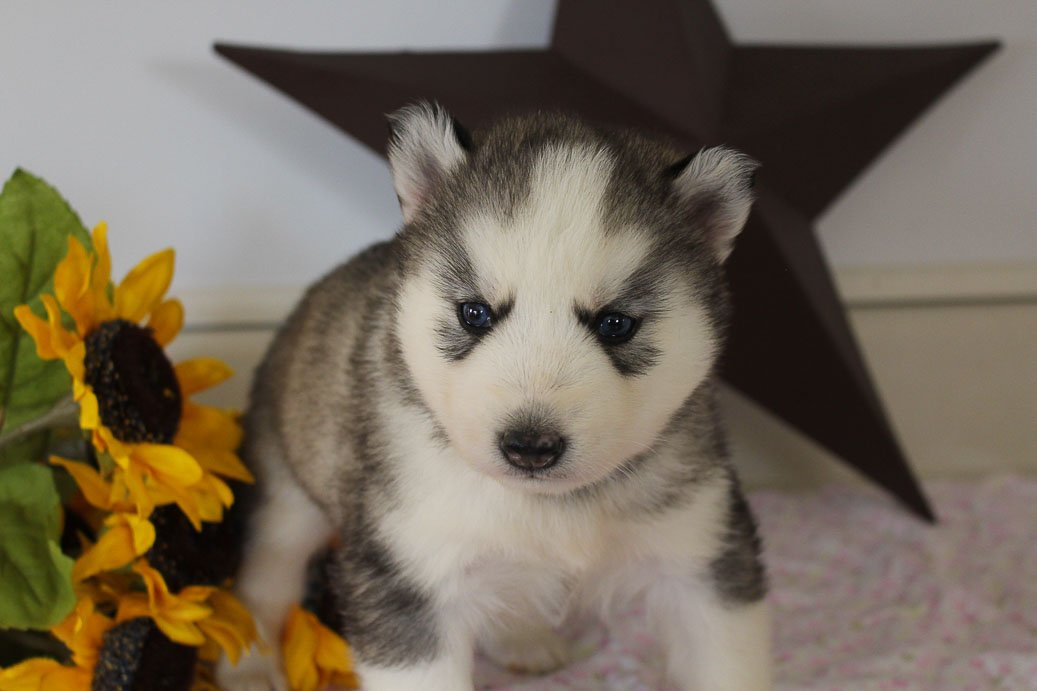 Trent - AKC Siberian Husky male pup for sale at Grabill, Indiana