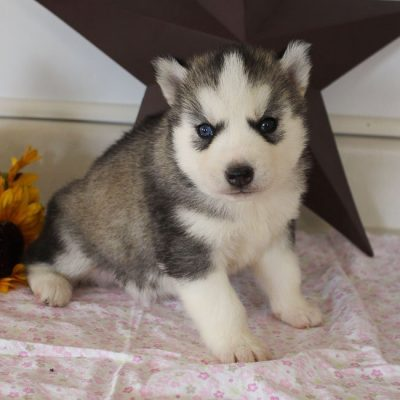 Trevor - AKC Siberian Husky male pupper for sale near Grabill, Indiana