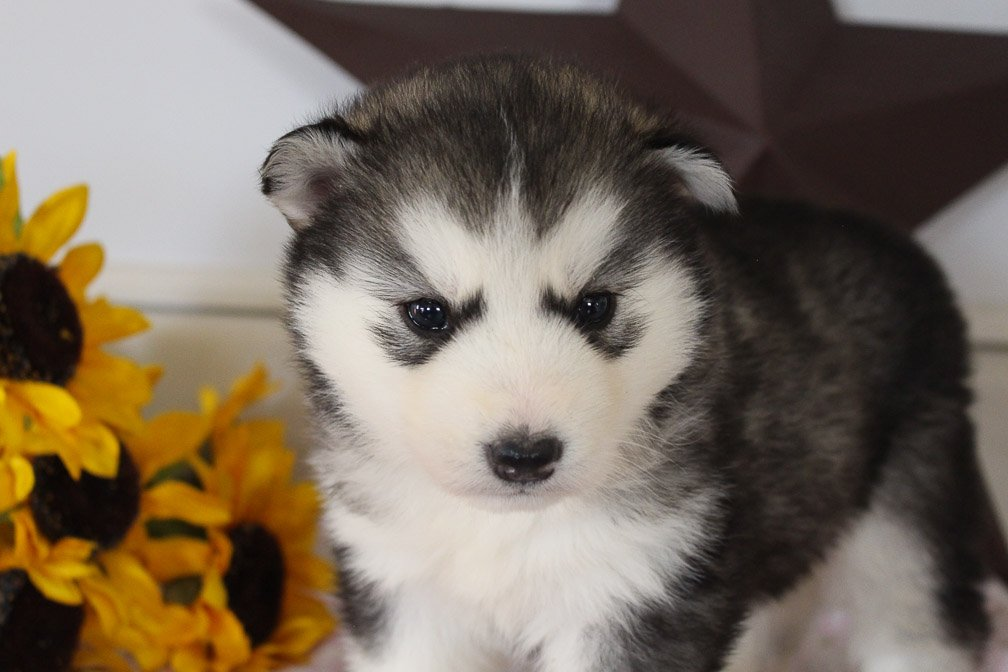 Haley - female AKC Siberian Husky puppie for sale in Grabill, Indiana