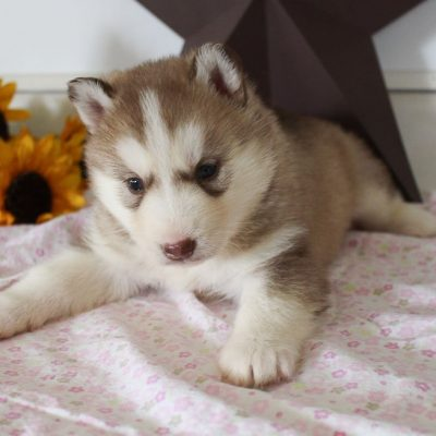 Halena - AKC Siberian Husky doggie for sale at Grabill, Indiana