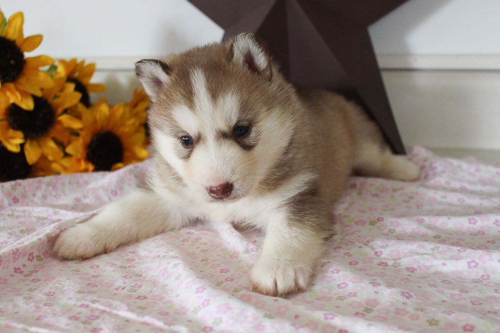 Halena - AKC Siberian Husky doggie for sale at Grabill, Indiana