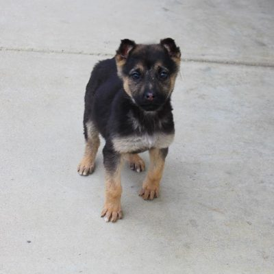 Susie - AKC German Shepherd pupper for sale at Grabill, Indiana