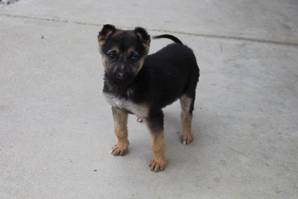 Audrey - AKC German Shepherd pupper for sale at Grabill, Indiana