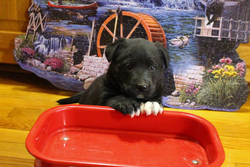 Layna - pupper AKC German Shepherd for sale near Grabill, Indiana