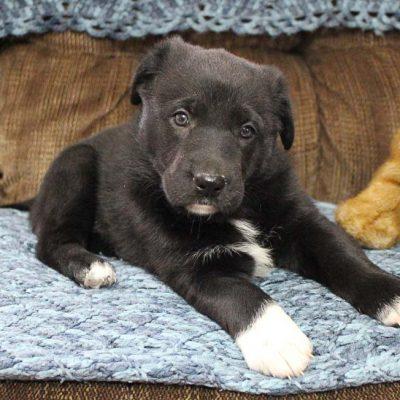 Millie - AKC German Shepherd female puppie for sale in Grabill, Indiana
