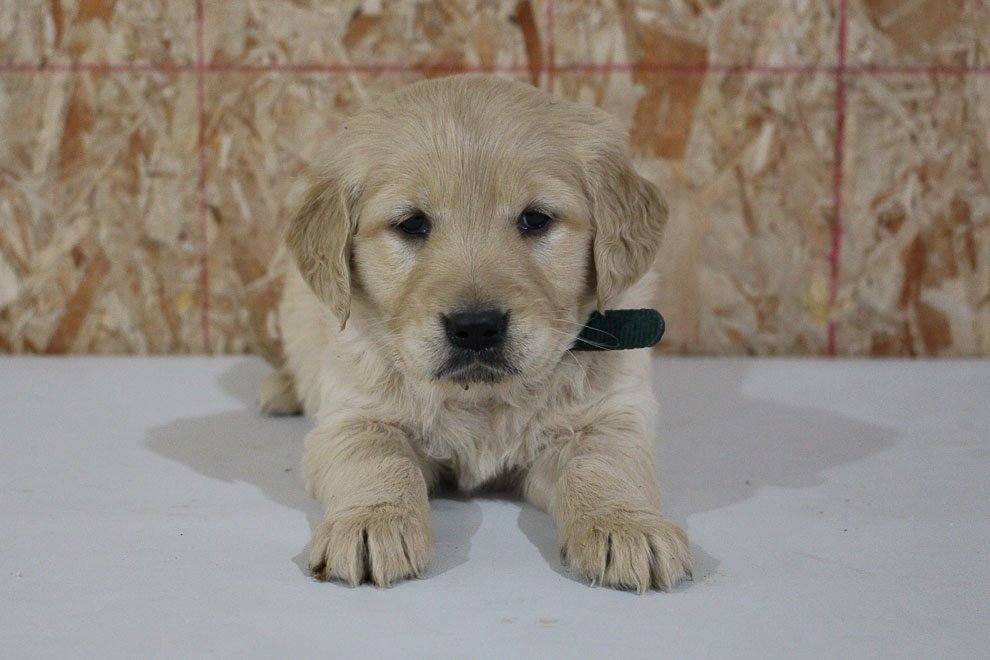 Miss Kylie - AKC Golden Retriever female puppy for sale in New Haven, Indiana