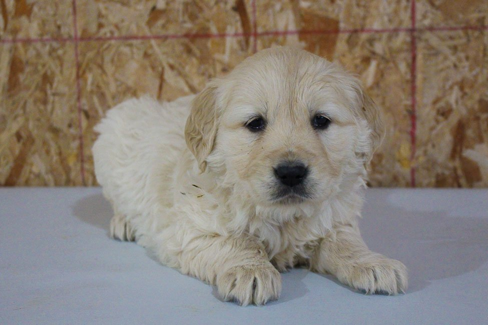 Jackie - AKC Golden Retriever female pupper for sale at New Haven, Indiana