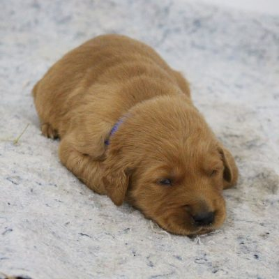 Rocko - AKC male Golden Retriever puppie for sale in New Haven, Indiana