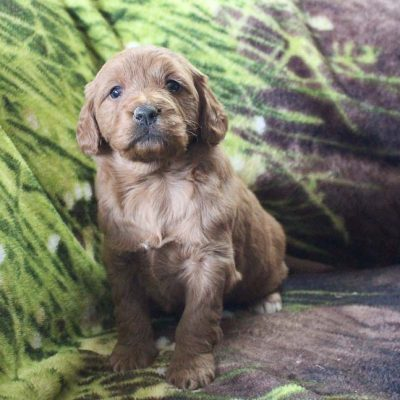 Dream - female Mini Goldendoodle puppy for sale near New Haven, Indiana