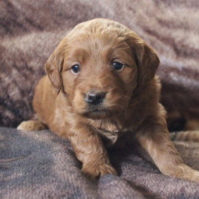 Dixie - Mini Goldendoodle pup for sale in New Haven, Indiana