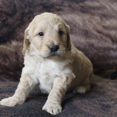 Danny - Mini Goldendoodle pupper for sale at New Haven, Indiana