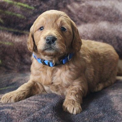 Dazzel - Mini Goldendoodle male doggie for sale in New Haven, Indiana