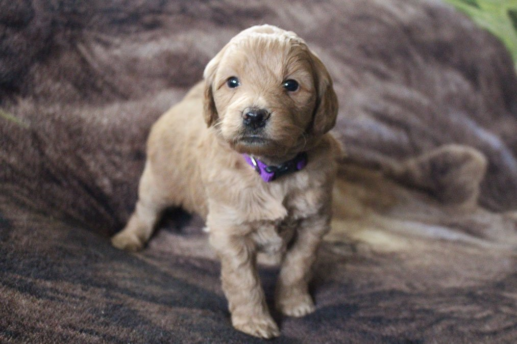 Darci - puppy Mini Goldendoodle for sale at New Haven, Indiana
