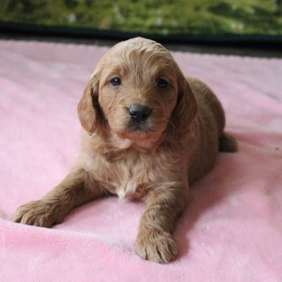 Dasher - Mini Goldendoodle male pup for sale near New Haven, Indiana