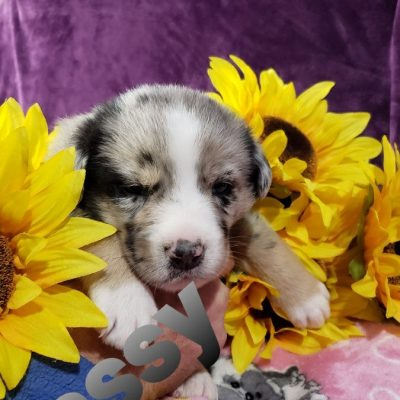 Jassy - doggie Australian Shepherd for sale in Grabill, Indiana